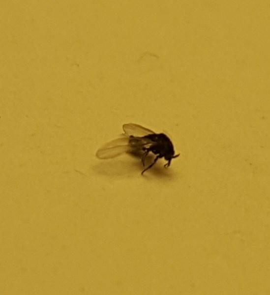 små fluer i vinduet