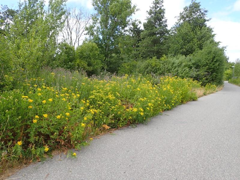 gule blomster i vejkanten