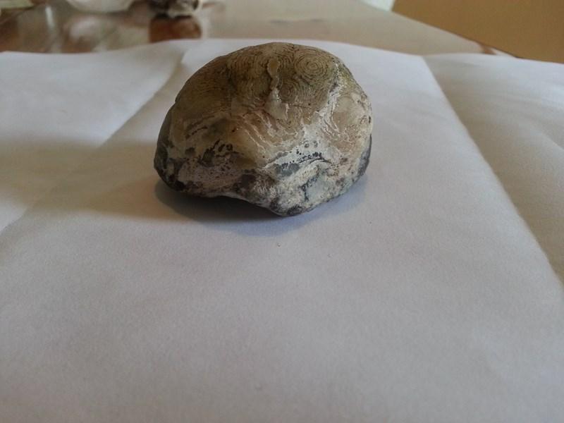 Musling eller andet? - Side 1 - Forum - Sten og fossiler - Fugleognatur.dk