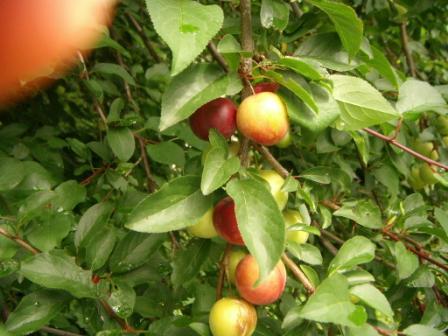 Hvilken busk/frugt (nogen der kan hjælpe med, hvad dette er for en