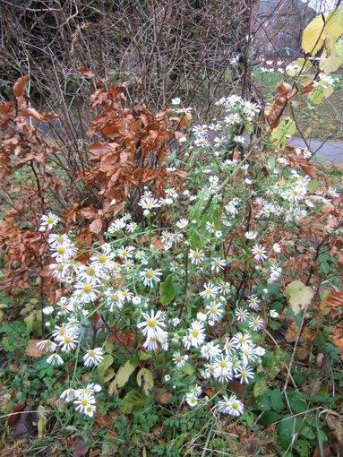 Asters-lignende plante i fuldt flor den 21. november - Side 1 - Forum - Karplanter - Fugleognatur.dk