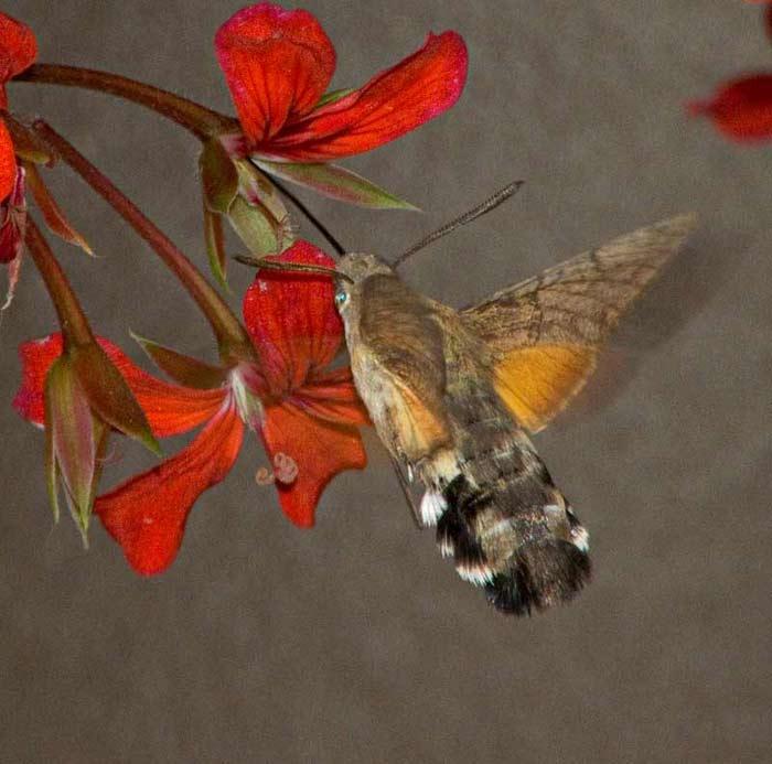 """Insekt med kolibriagtige flyveegenskaber. (Denne sjove """"fætter"""" så jeg i  Italien ved"""