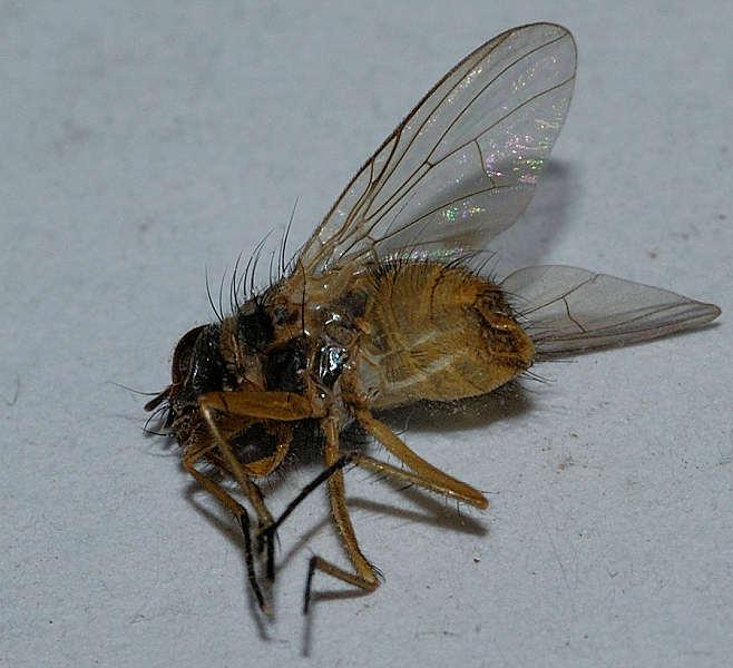 Fantastisk Hvilken død flue? - Side 1 - Forum - Tovingede insekter HT82