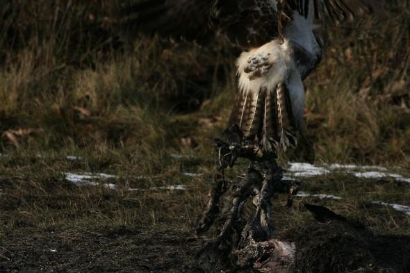 Musvågen, og den forsøgte at få noget af det døde dyr - evt