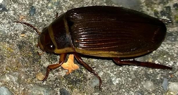 Identifikation af stor bille, ukendt af fotograf - Side 1 - Forum - Biller - Fugleognatur.dk