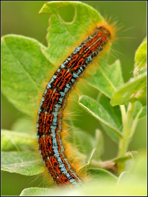Navn til smuk larve? (hvad hedder denne smukke larve?brude sø i dag.)