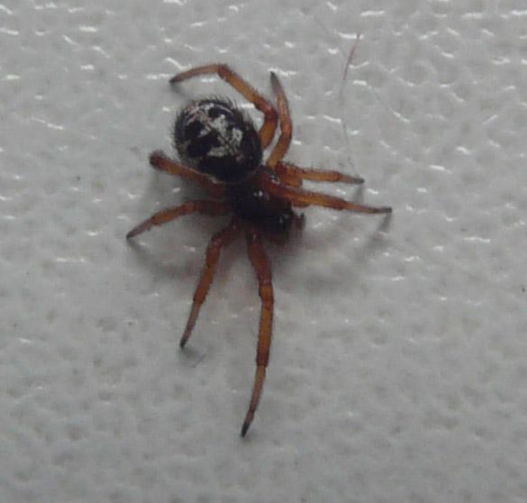 edderkopper i spanien