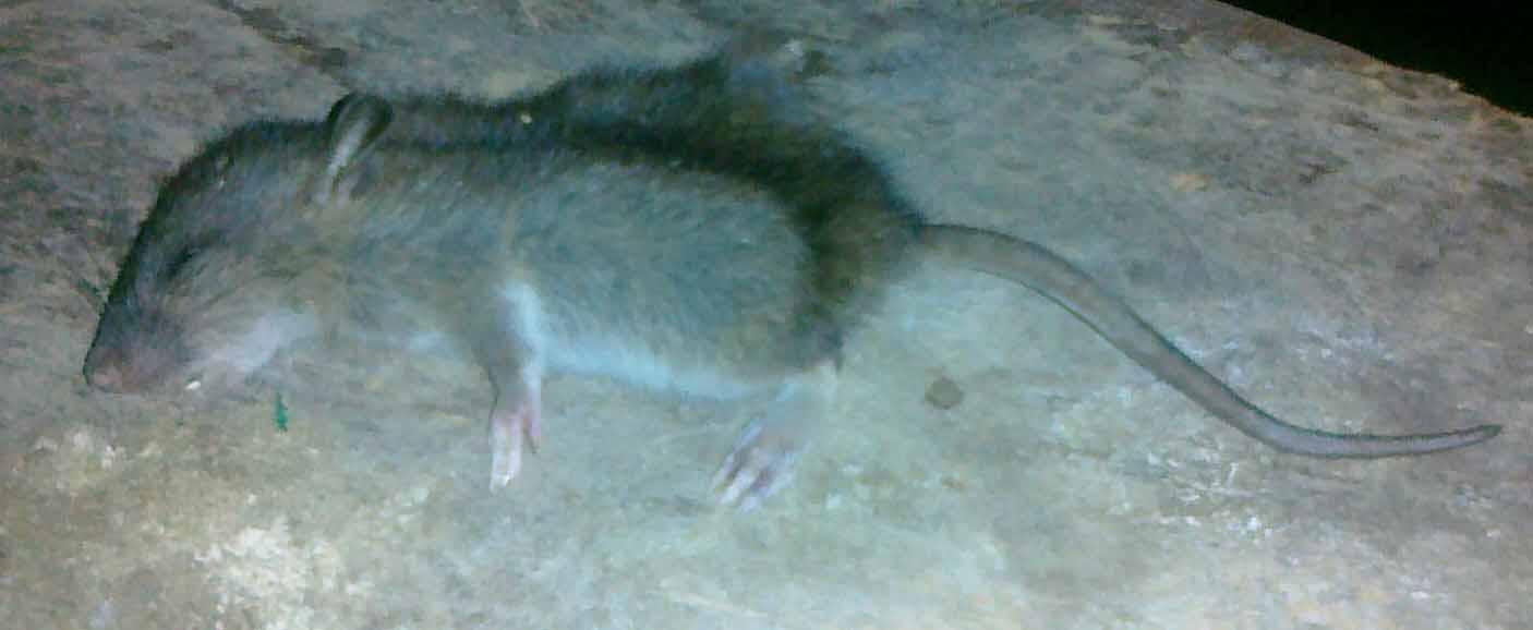 Mus Rotter Eller Begge Dele Side 1 Forum Pattedyr Fugleognatur Dk