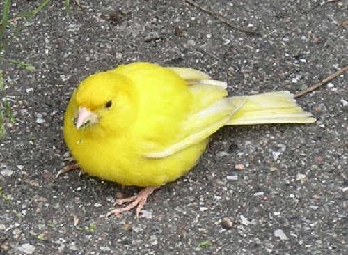 Forleden stødte jeg på denne lille gule kanarie, som sad på