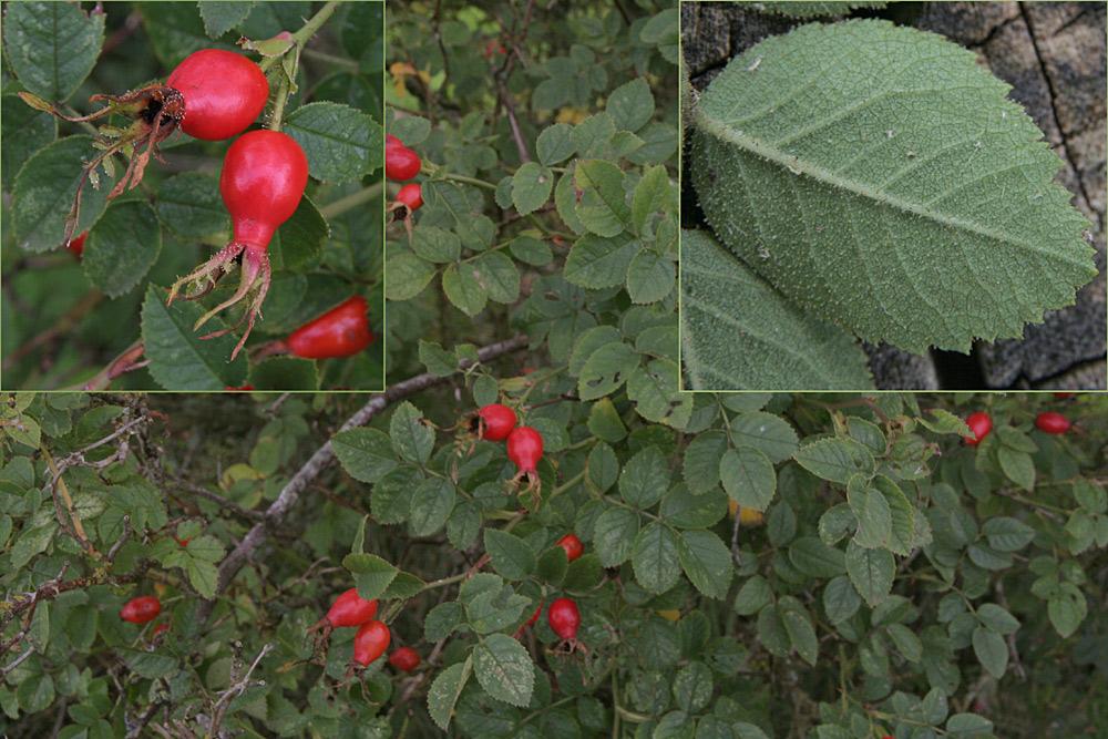 Foto/billede af Æble-Rose (Rosa rubiginosa)