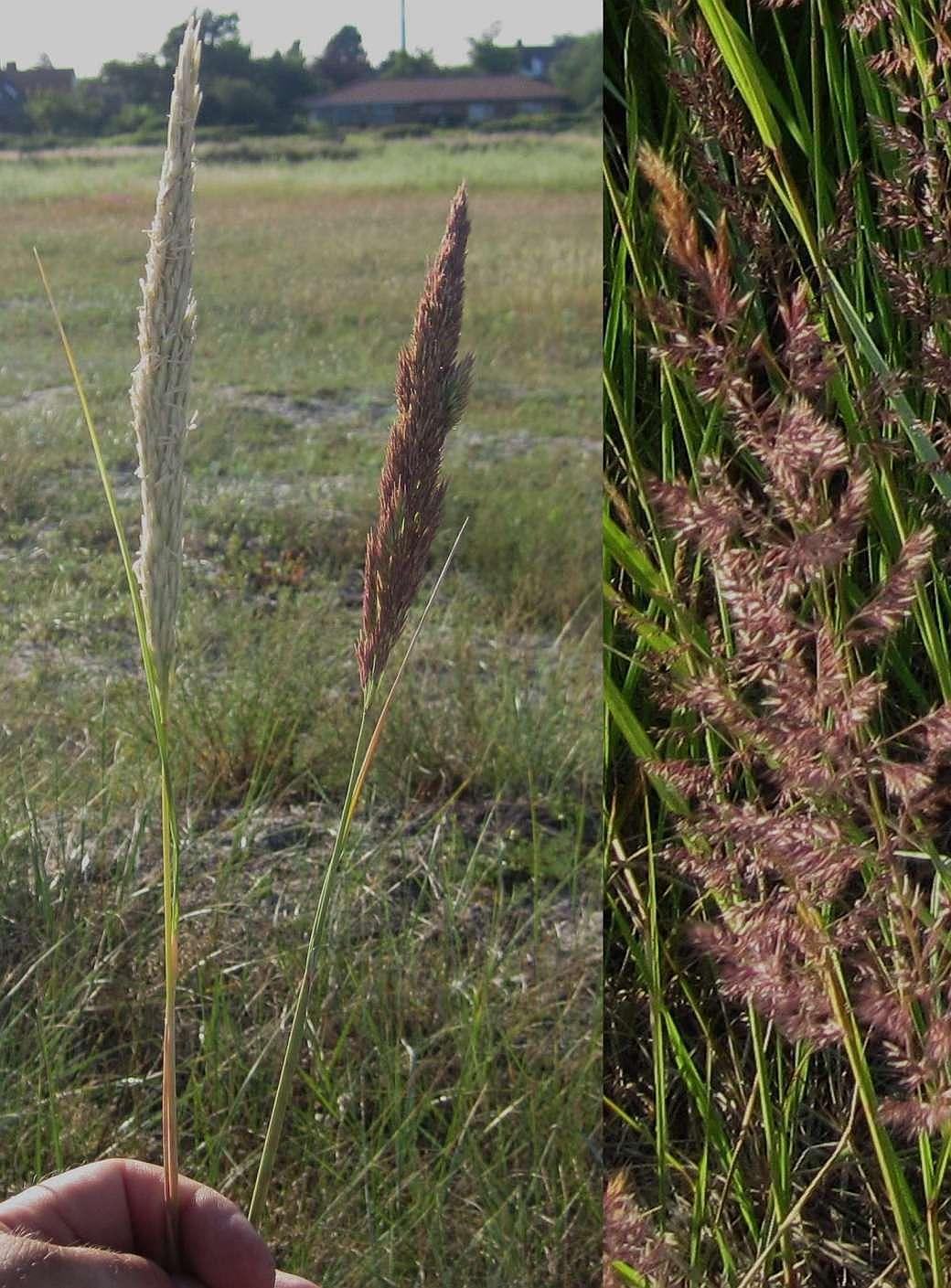 Østersø-Hjælme (Ammophila arenaria x Calamagrostis epigeios)