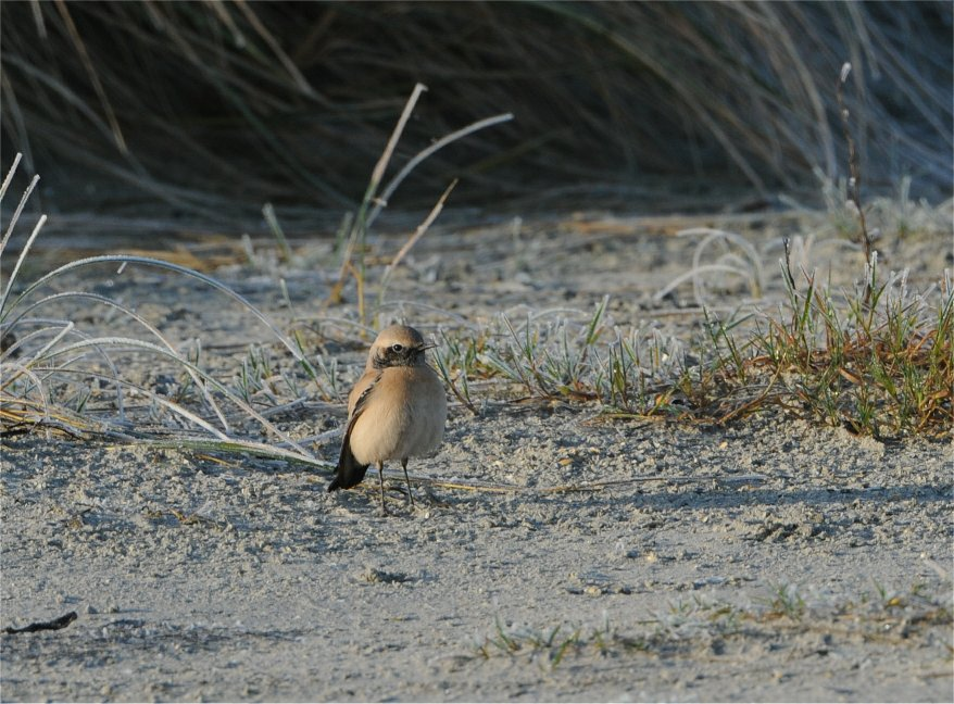 Ørkenstenpikker