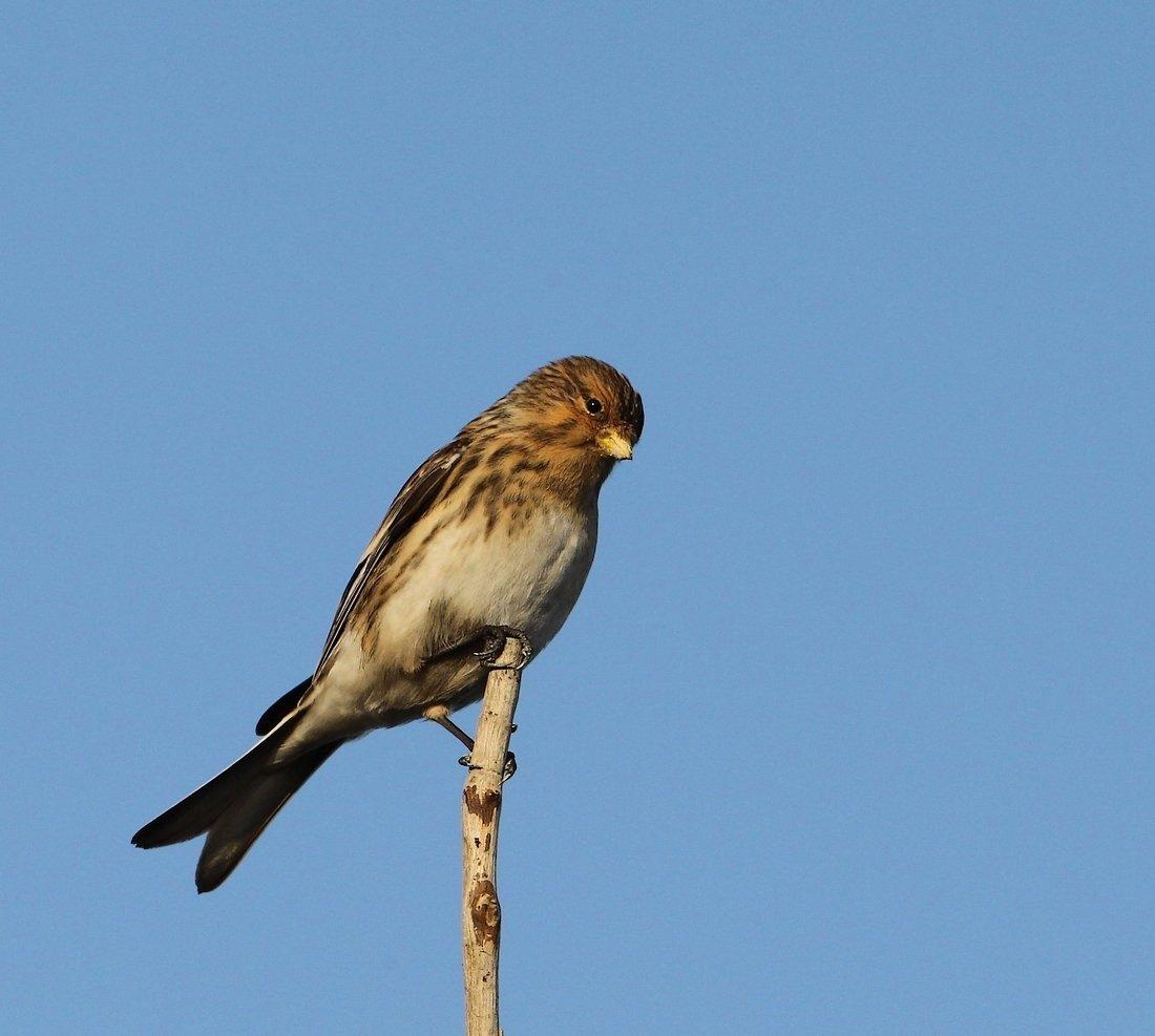 Foto/billede af Bjergirisk (Carduelis flavirostris)
