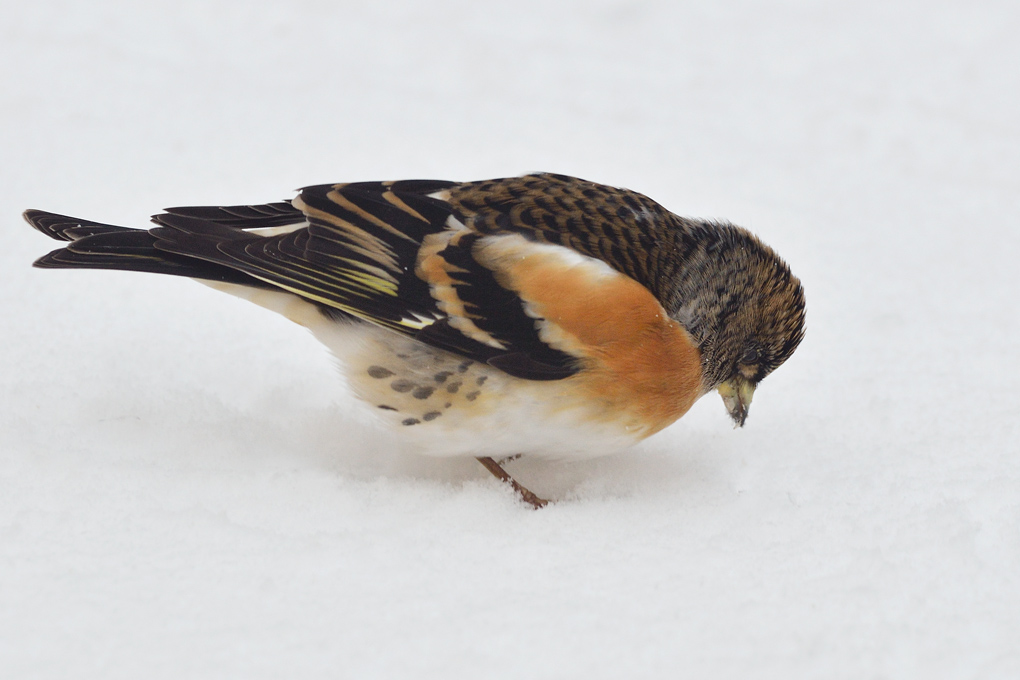 Kvækerfinke (Fringilla montifringilla)
