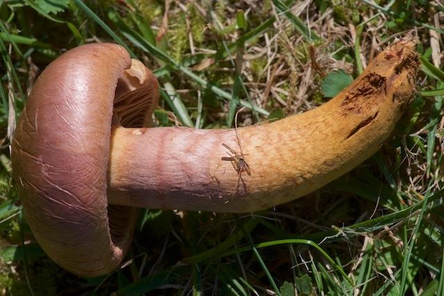 Foto/billede af Brunrød Slimslør (Chroogomphus rutilus)