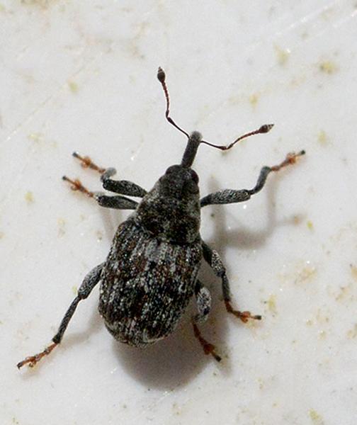 Datonychus melanostictus