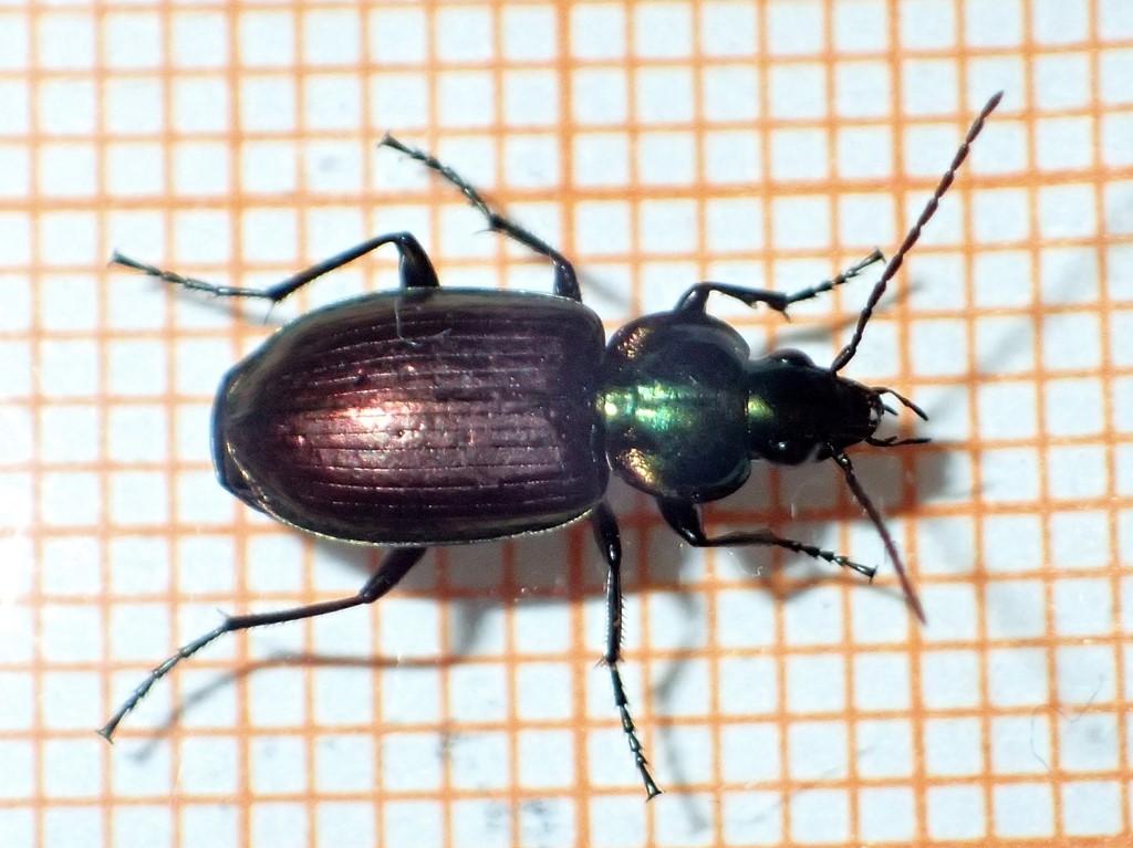 Foto/billede af Sekspunktet Kvikløber (Agonum sexpunctatum)