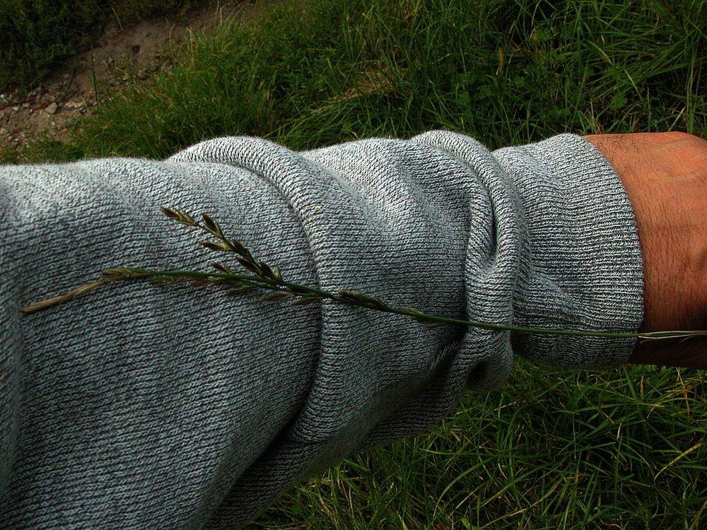 Almindelig Rajgræs f. ramosum