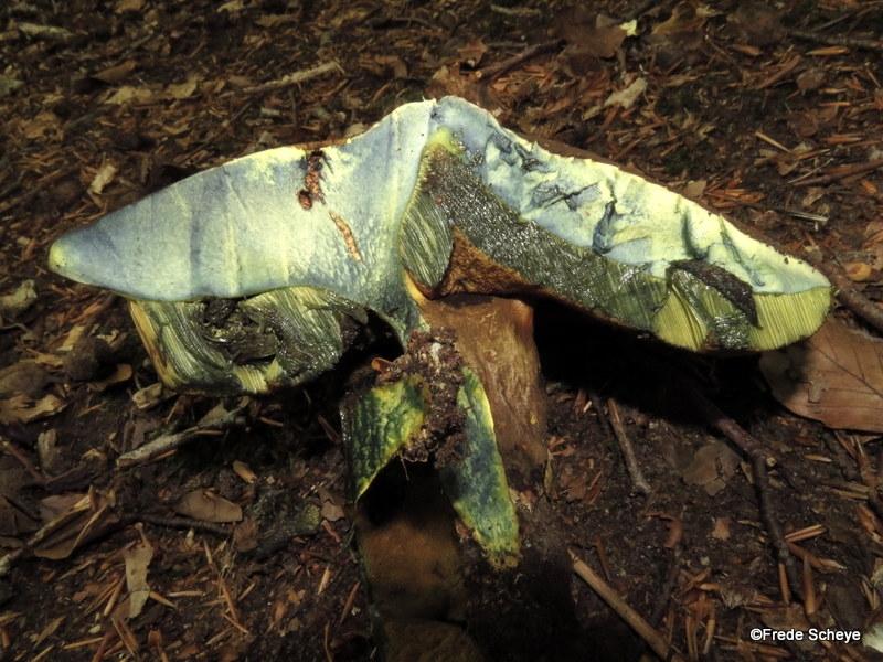 Foto/billede af Sortblånende Rørhat (Cyanoboletus pulverulentus)