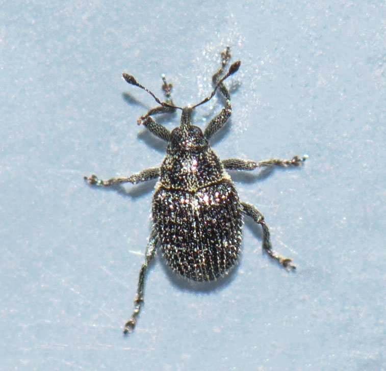 Ceutorhynchus atomus