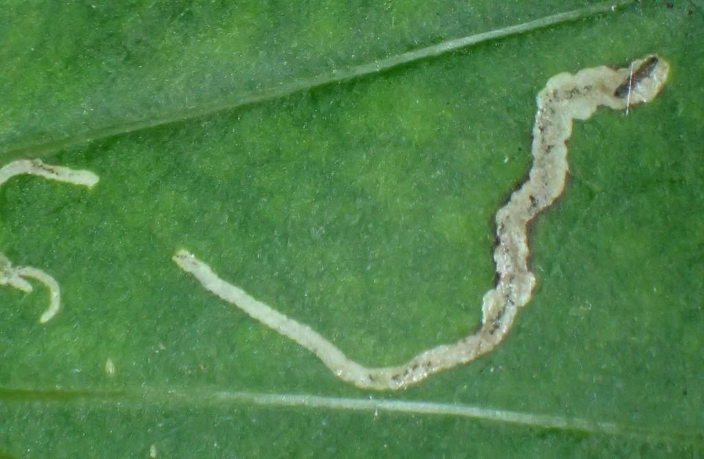 Phytosciara macrotricha