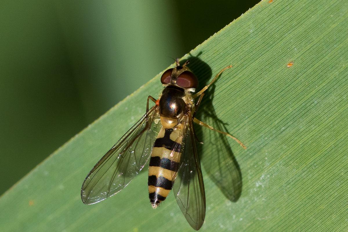 Bælte-Svirreflue (Meliscaeva cinctella)