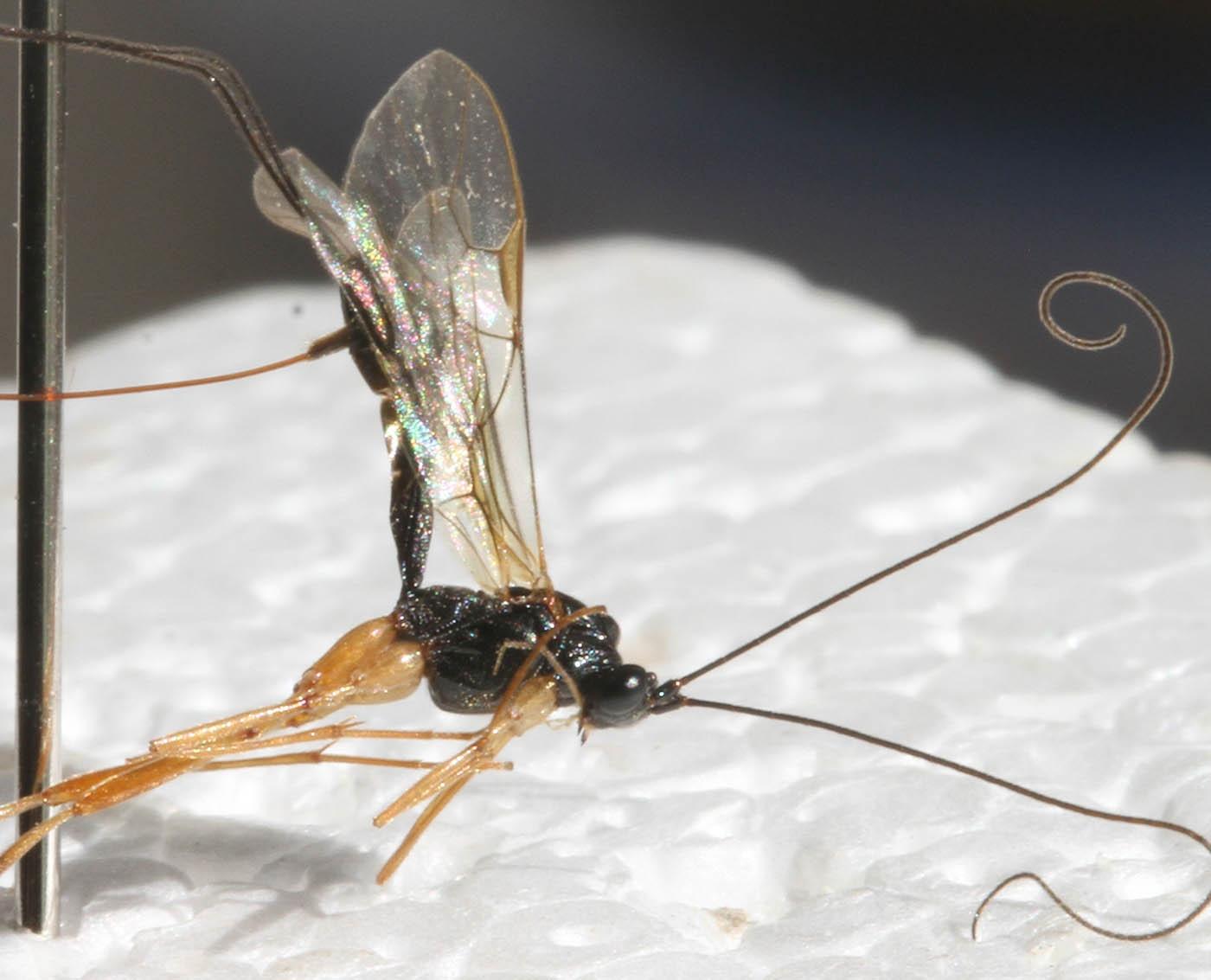 Macrocentrus sp.