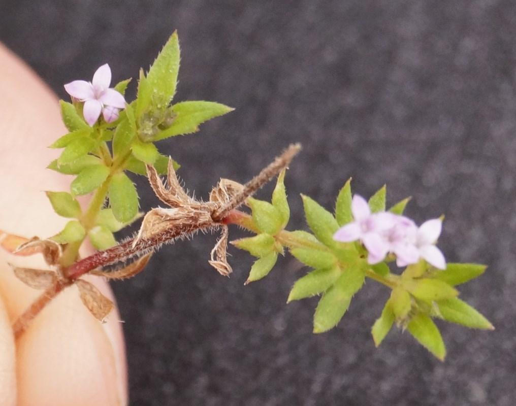 Foto/billede af Blåstjerne (Sherardia arvensis)