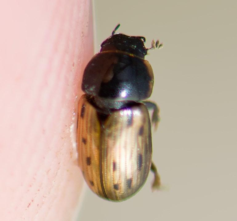 Foto/billede af Vintermøgbille (Aphodius conspurcatus)