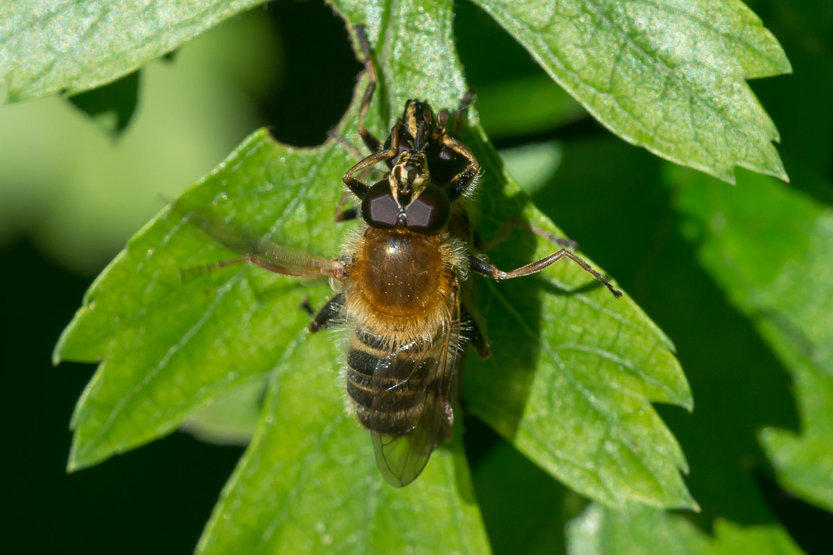Bi-Pelssvirreflue (Criorhina asilica)