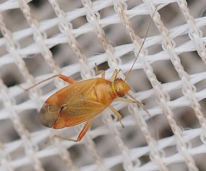 Foto/billede af Pinalitus rubricatus (Pinalitus rubricatus)