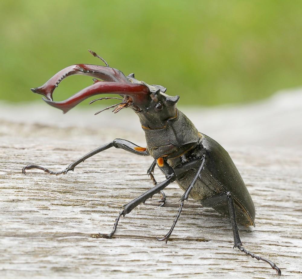Eghjort (Lucanus cervus)