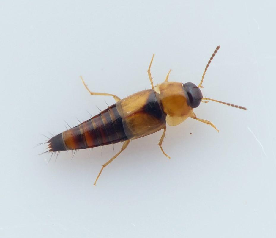 Tachyporus pallidus