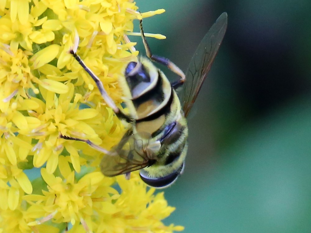 Dødningehoved-Svirreflue (Myathropa florea)
