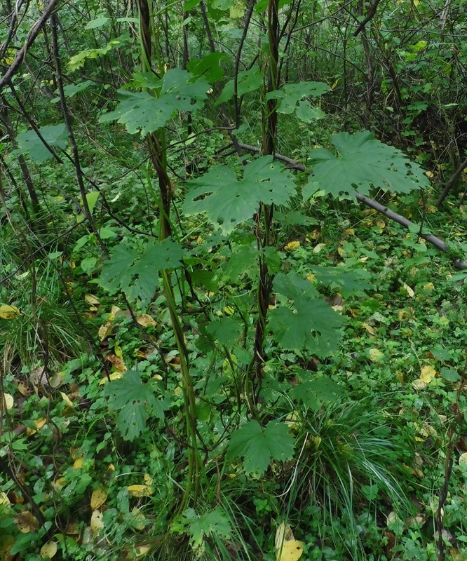 Humle (Humulus lupulus)