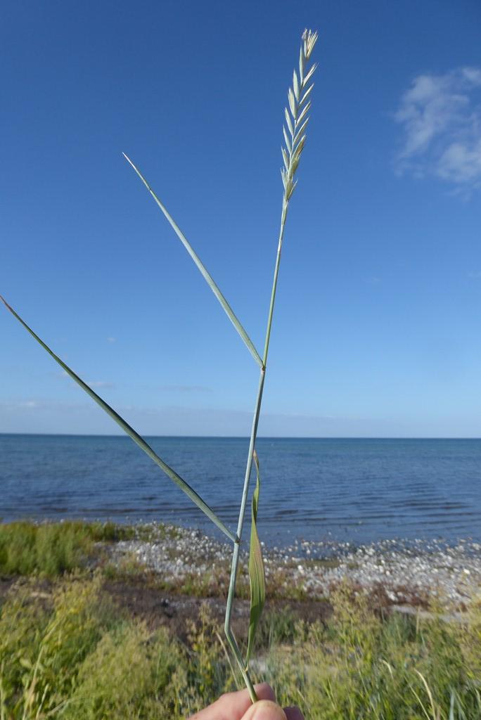 Foto/billede af Hybrid-Kvik (Elytrigia juncea x repens)