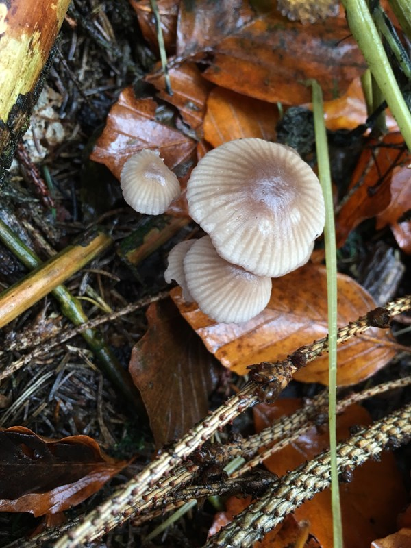 Rødægget Huesvamp (Mycena rubromarginata)