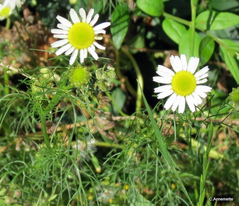 Lugtløs Kamille (Tripleurospermum perforatum)