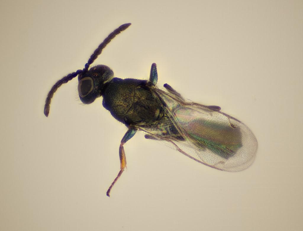 Pseudocatolaccus nitescens
