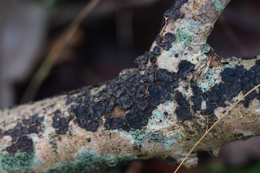 Foto/billede af Mørkrandet Voksskind (Peniophora limitata)
