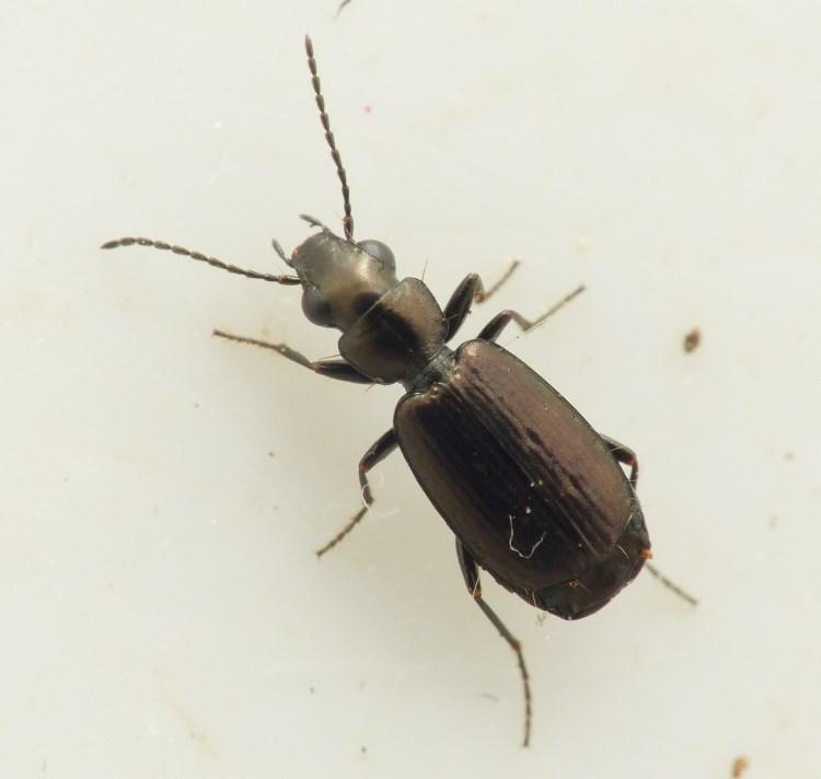 Foto/billede af Bronzestumpløber (Syntomus foveatus)