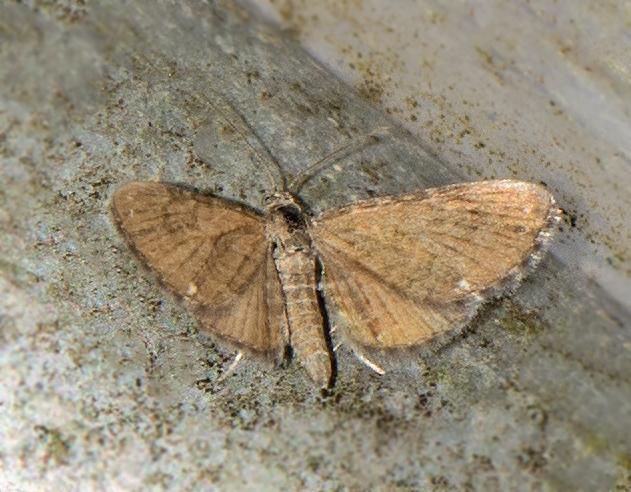 Foto/billede af Fladstjernedværgmåler (Eupithecia pygmaeata)