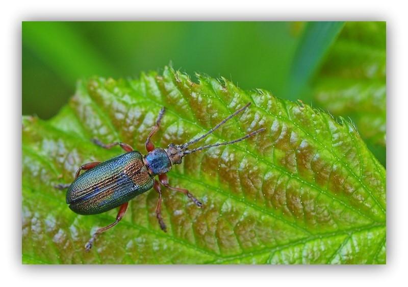Plateumaris braccata (Plateumaris braccata)