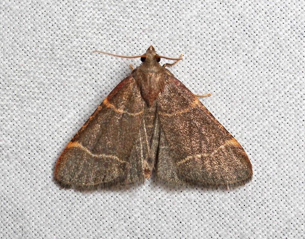 Foto/billede af Blågråt Herkuleshalvmøl (Hypsopygia glaucinalis)
