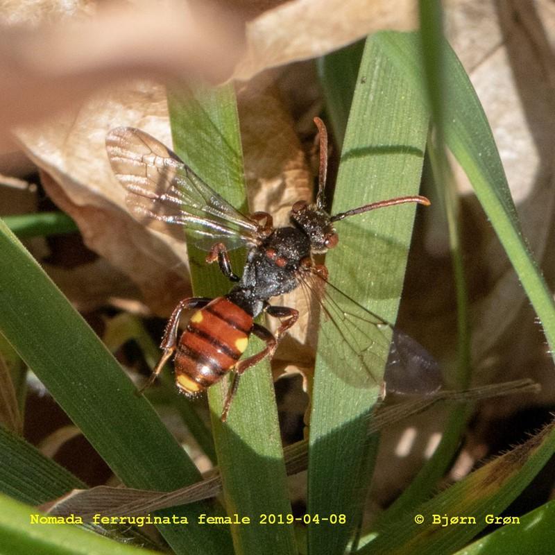 Foto/billede af Nomada ferruginata (Nomada ferruginata)