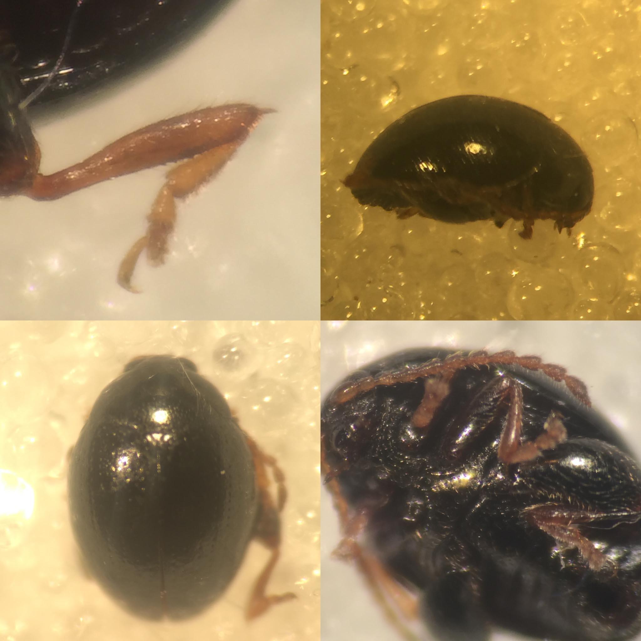 Apteropeda globosa (Apteropeda globosa)