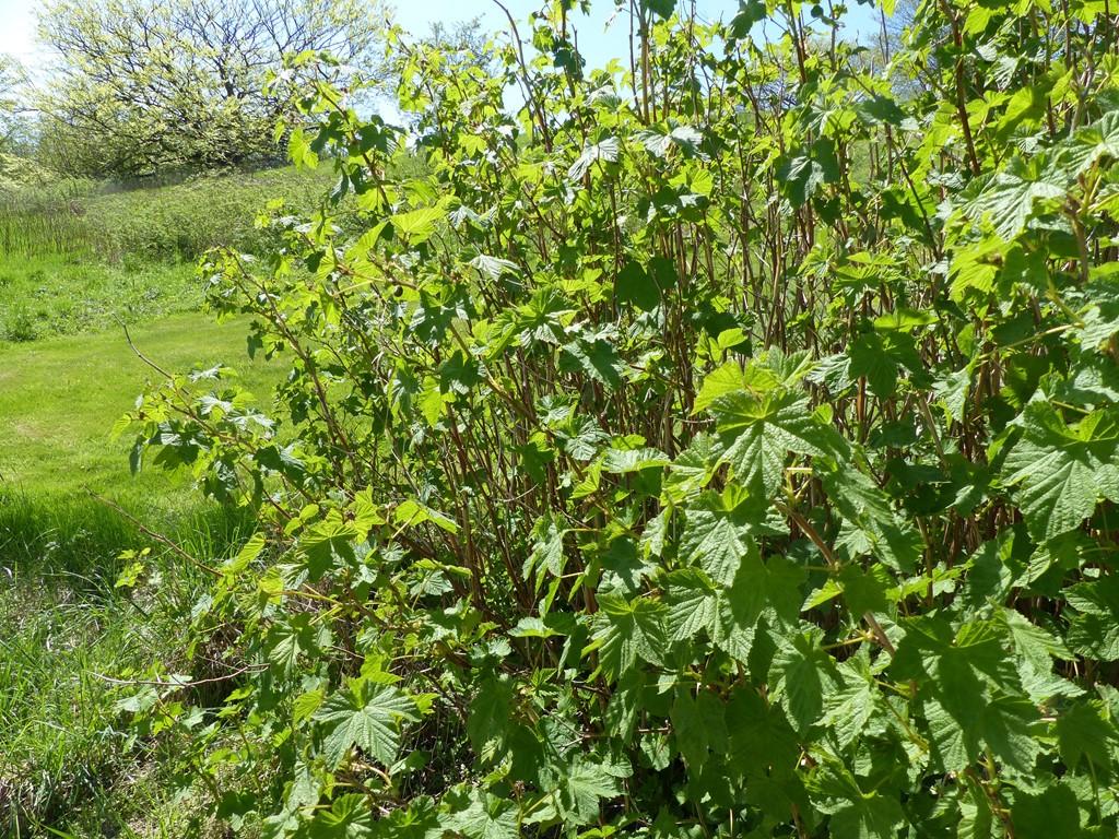 Foto/billede af Rosen-Brombær (Rubus odoratus)
