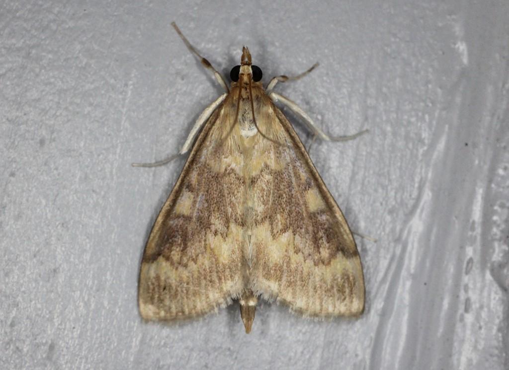 Majshalvmøl (Ostrinia nubilalis)