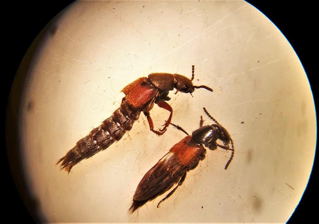 Platydracus latebricola