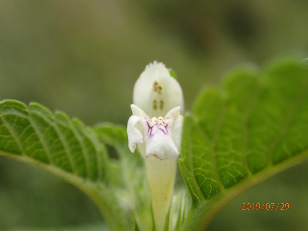 Foto/billede af Almindelig Hanekro (Galeopsis tetrahit)